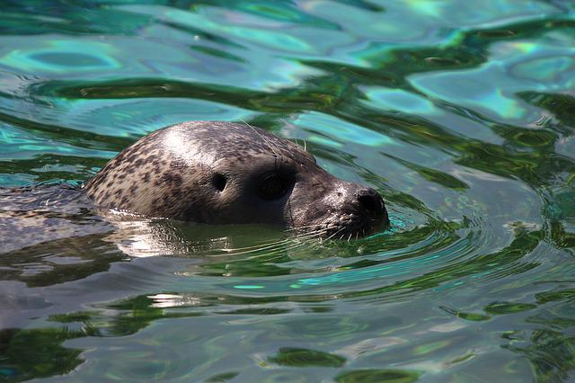 Seal, Water, Robbe, Sea, Swim, Zoo, Nature