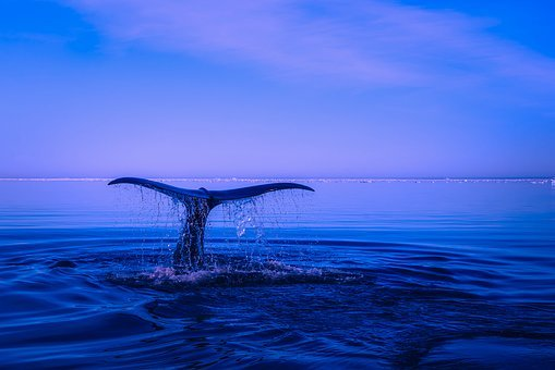 Sea, Ocean, Water, Humpback Whale, Breaching, Tail, Fin