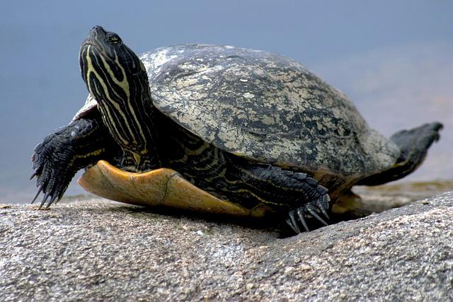 Water Turtle, Reptile, Nature
