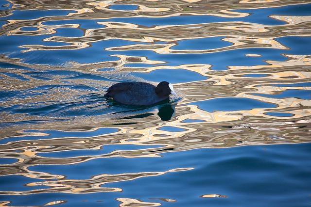 Coot, Animal, Water Bird, Lake, Water