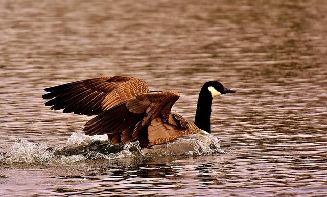 Goose, Wild Goose, Water, Landing, Water Bird, Nature