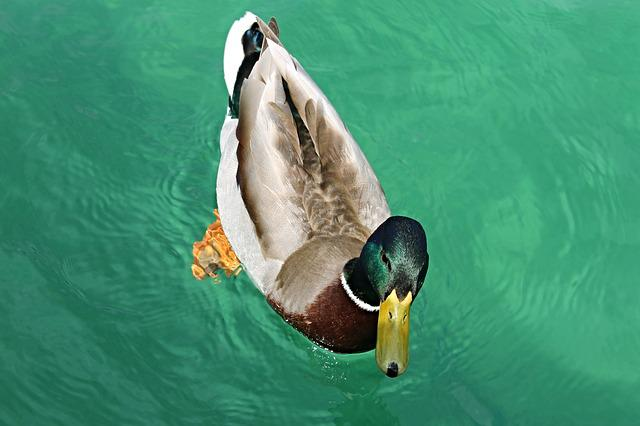 Duck, Drake, Mallard, Male, Water Bird, Water, Nature