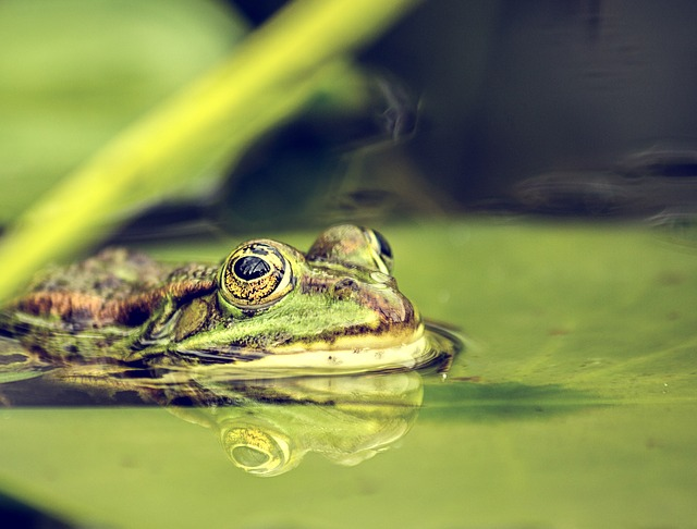 Frog, Pond, Amphibians, Water, Water Frog, Nature