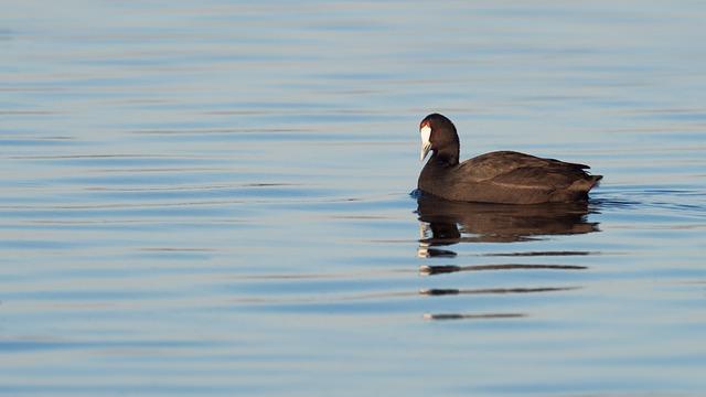 Red-knobbed Coot, Bird, Avian, Waterbird, Water, Duck