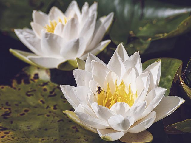 Water Lilies, White, Nature, Water Lily, Water