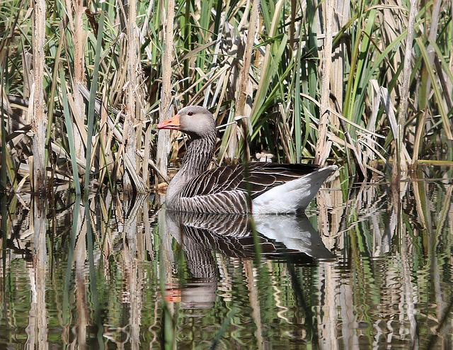 Goose, Water, Pond, Bird, Nature, Wildlife, Lake