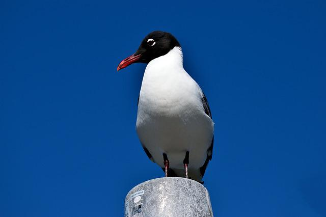 Laughing Gull, Bird, Avian, Waterbird, Tropical Bird