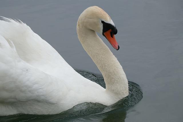 Swan, Mute Swan, Bird, Waterfowl, Swimming, Animals