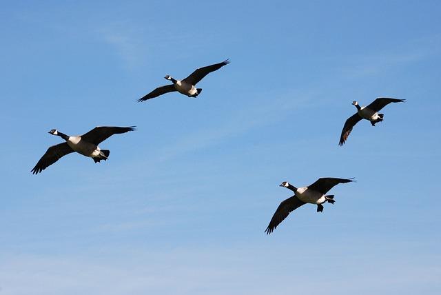 Canada Geese, Branta Canadensis, Waterfowl, Landing