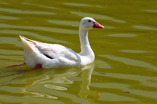 Coscoroba, Coscoroba Coscoroba, Bird, Duck, Waterfowl