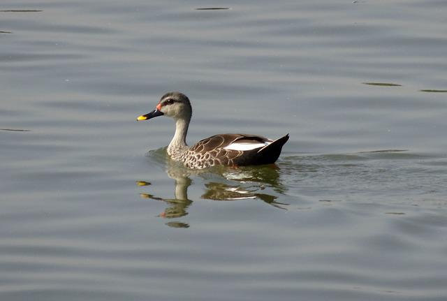 Duck, Bird, Waterfowl, Wildlife, Spot-billed Duck