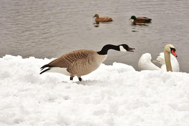 Goose, Swan, Ducks, Waterfowl, Poultry, Snow, Plumage