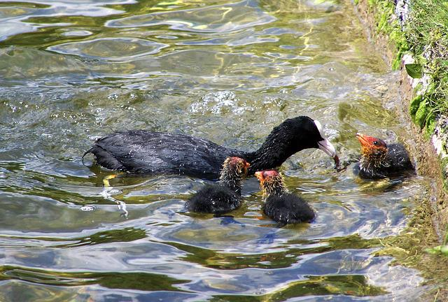 Coot Family, Waterfowl, Feeding Of Nestlings