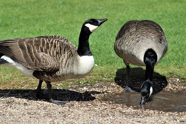 Goose, Bird, Nature, Duck, Wildlife, Waterfowl, Animal