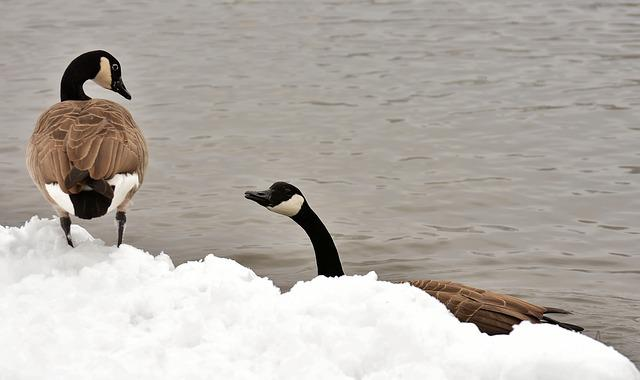 Geese, Waterfowl, Poultry, Snow, Plumage, Winter