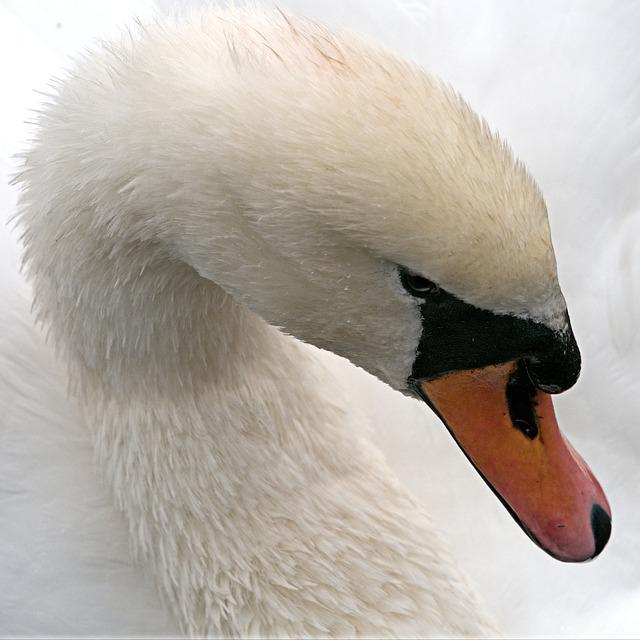 Swan, Mute, White, Bird, Waterfowl, Cygnus, Big, Beak