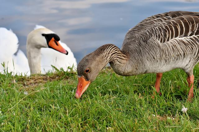 Goose, Swan, Water, Waterfowl, Nature, Poultry