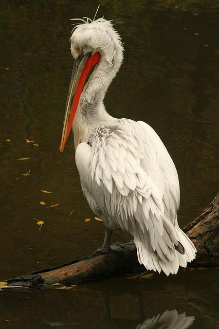 Pelican, Zoo, Animal, Waterfowl, Bird