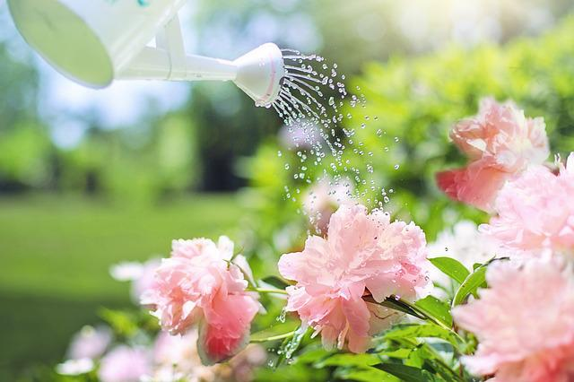 Watering, Flowers, Peonies, Pink, Watering Can, Nature