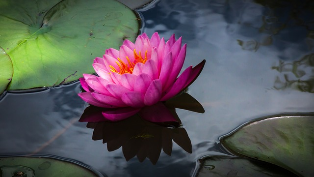 Flower, Waterlily, Blossom, Flora, Botanical, Nature