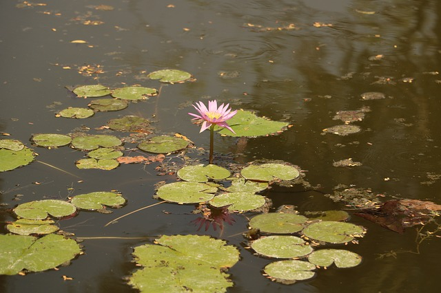 Pool, Lake, Lotus, Water, Aquatic, Waterlily, Outdoors
