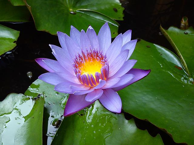 Water Lilies, Flower, Water Lily, Lilly, Waterlily