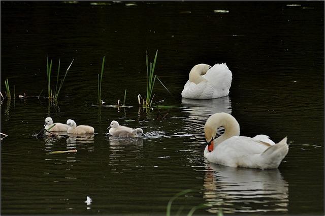 Waters, Bird, Swans