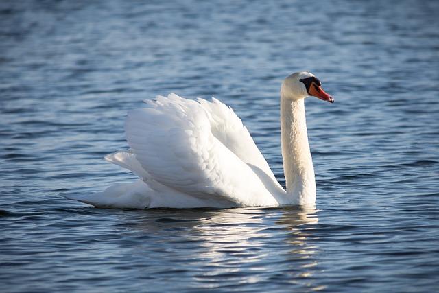 Waters, Bird, Nature, Swim, Swan