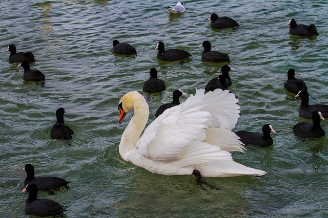 Swan, Lake, Animal World, Waters, Bird, Water Bird