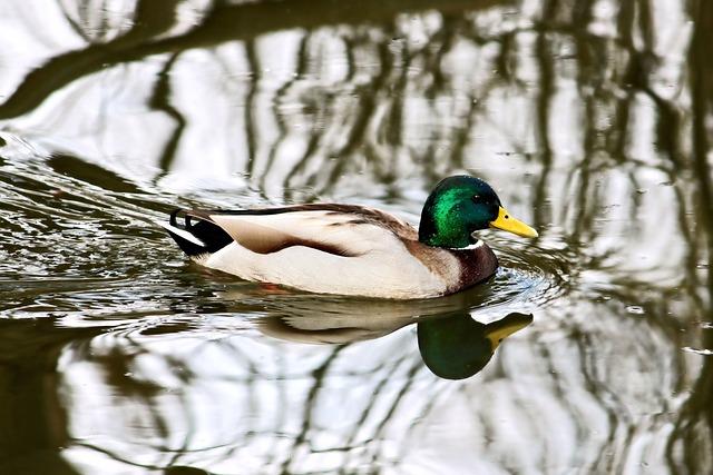 Drake, Mallard, Duck, Water Bird, Nature, Waters