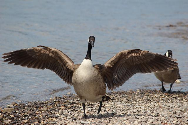 Bird, Waters, Animal World, Nature, Goose, Spring