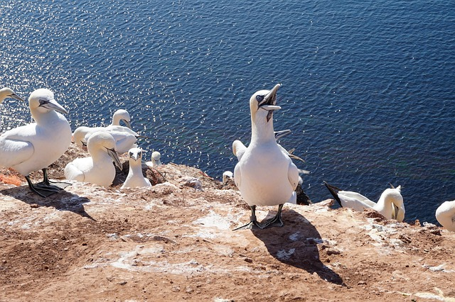 Waters, Sea, Nature, Coast, Northern Gannet, Birds