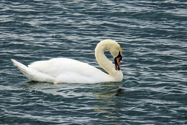 Waters, Swan, Nature, Bird