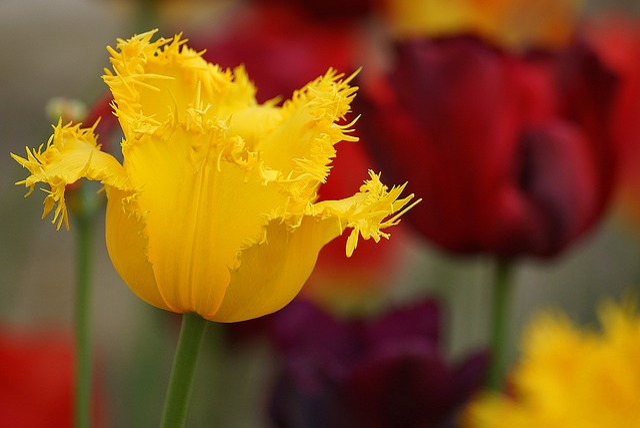 Flowers, Tulips, Plant, Garden, Summer, Flora, Wawel