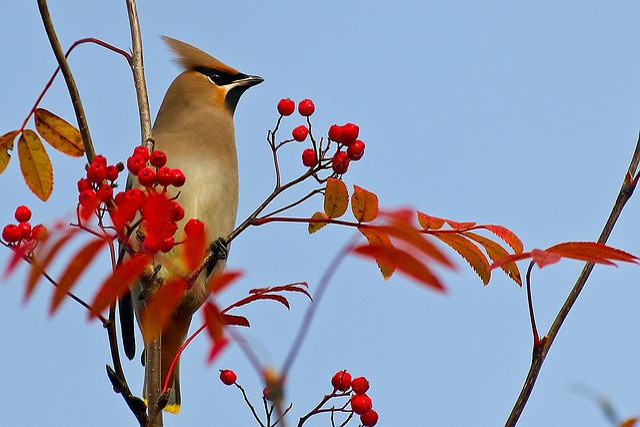 Waxwing, Bird, Rowan, Rowan Berries, Autumn