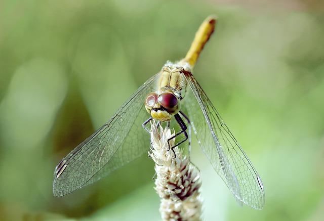Ważka, Insect, Dragonflies Różnoskrzydłe, Green, Grass