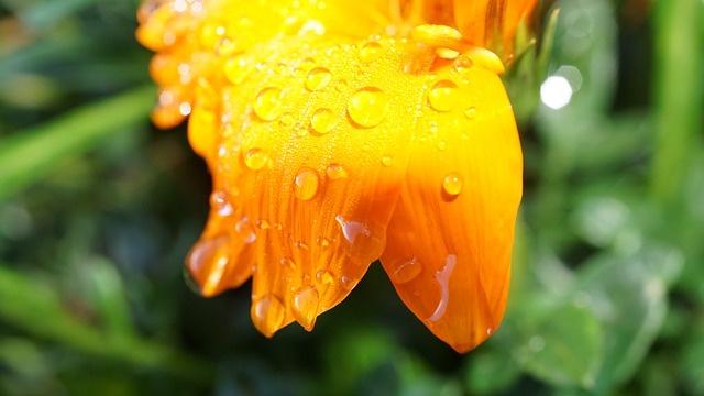 Petals, Orange Blossom, Rain, Weather, Summer Rain