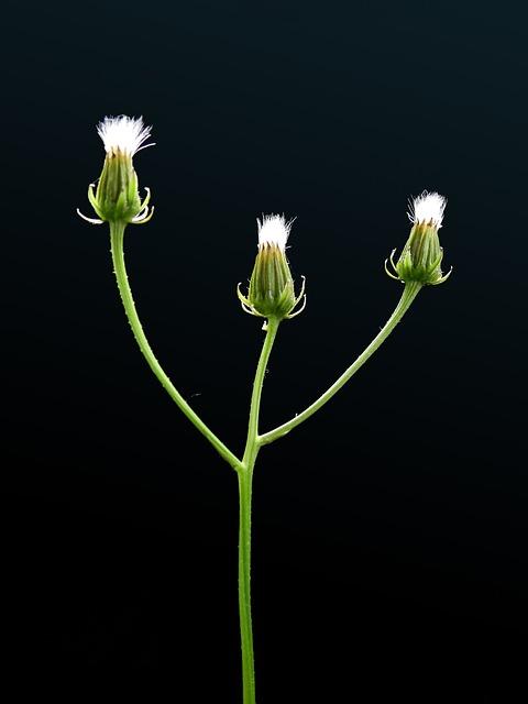 Plant, Flower, Blossom, Bloom, Bloom, Weed, Summer