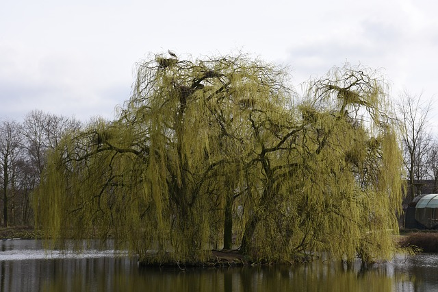Tree, Landscape, Nature, Weeping Willow, Storks, Nests