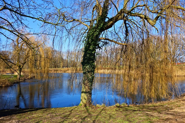 Weeping Willow, Willow, Tree, Bare Tree, Winter Tree