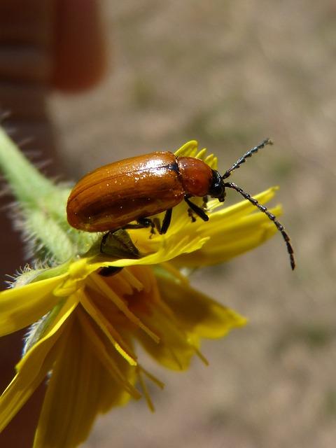 Weevil, Beetle, Diptera, Orange Beetle, Dandelion