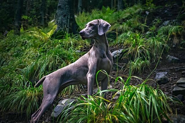 Weimaraner, Dog, Pet, Majestic, Grey, Gray, Breed