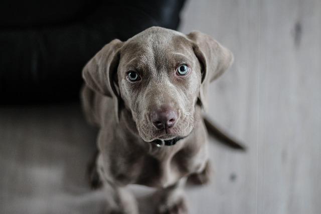 Weimaraner, Puppy, Dog, Snout, Animal Portrait