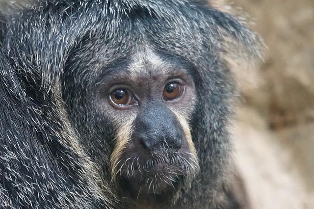 Weisskopfsaki, Female, Monkey, Rainforest