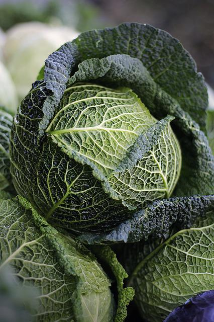 Savoy, Savoy Cabbage, Welsch Carbonate, Welsch Herb