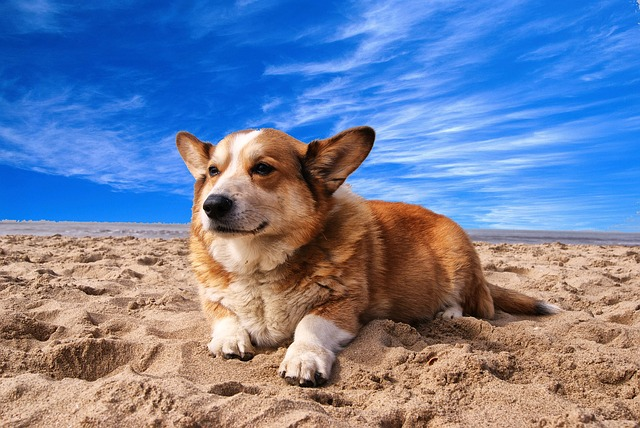 Welsh Corgi, Dog, Pet, Doggy, Animal, Beach