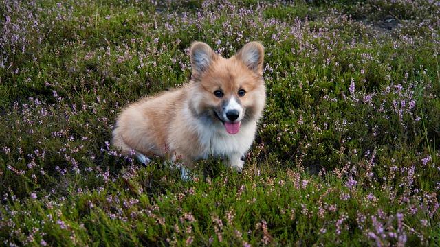 Welsh Corgi, Dog, Pet, Relax, Family, Hiking, Dogs