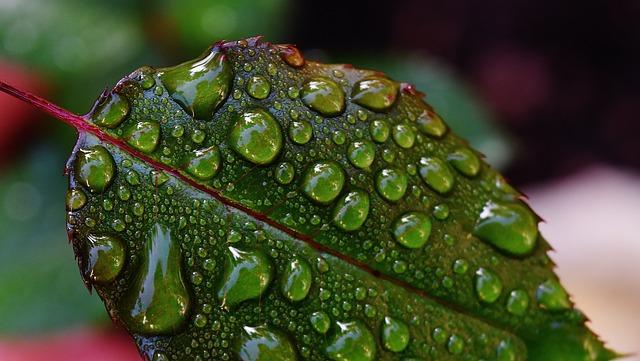 Rosenblatt, Drip, Raindrop, Wet, Drop Of Water, Beaded