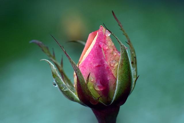 Rose, Bud, Tender, Autumn, Wet, Drip, Moist, Cold