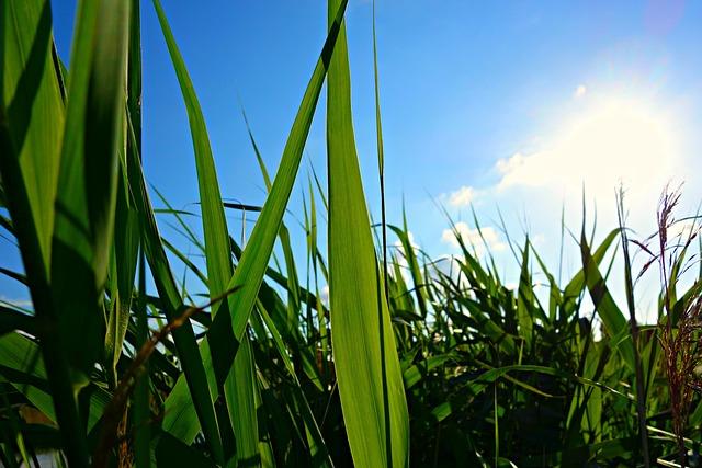 Reed, Rush, Water, Pond, Waterway, Wetland, Tall